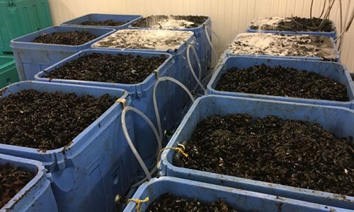 Thimble Bay Blues Organic Blue Mussels
